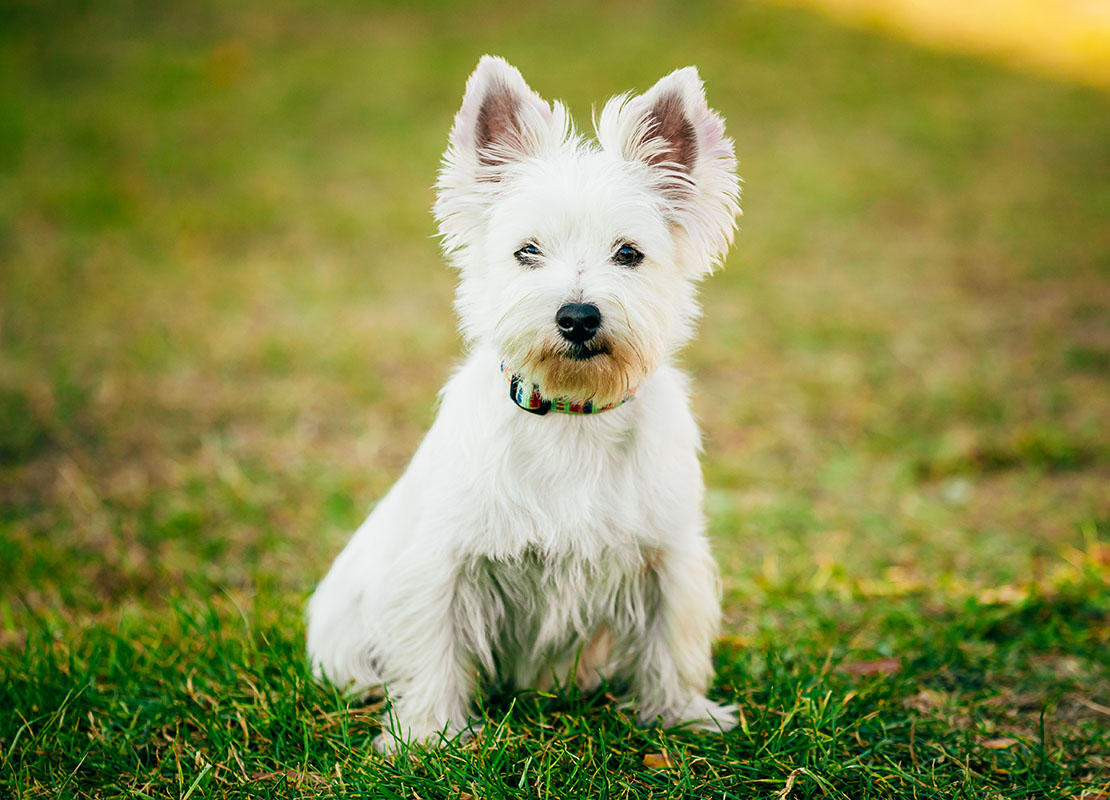 Pequeno West Highland White Terrier na grama verde